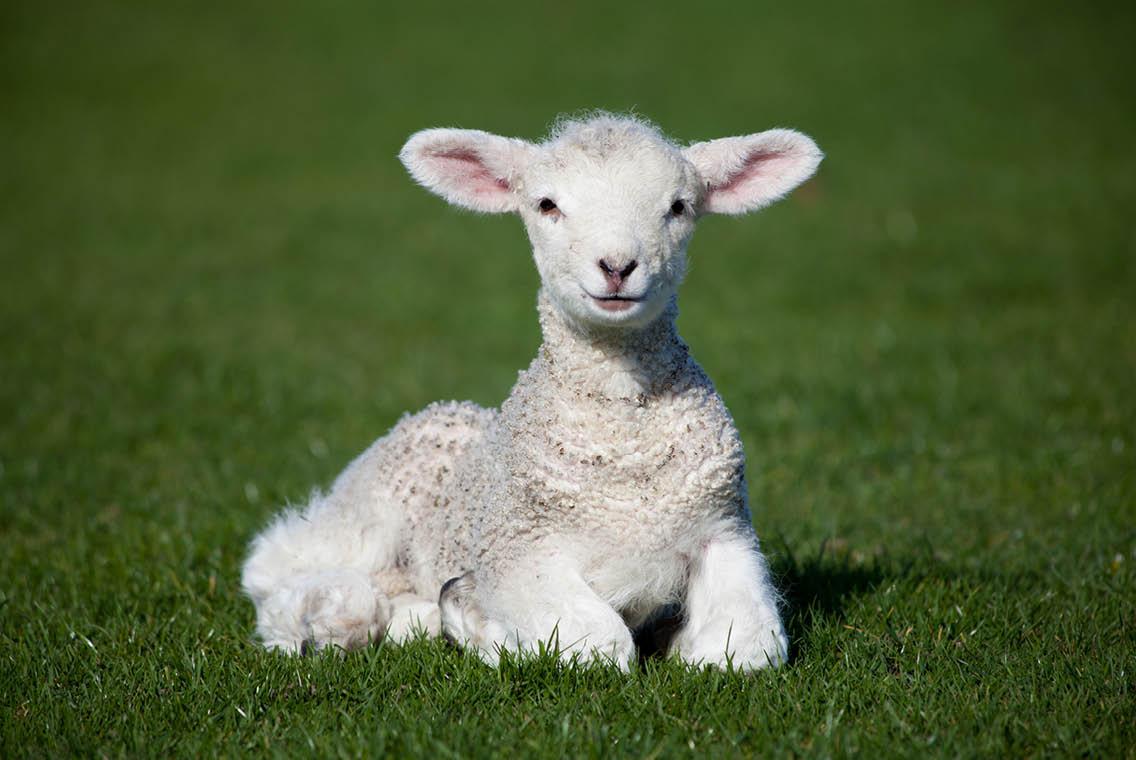 lamb double